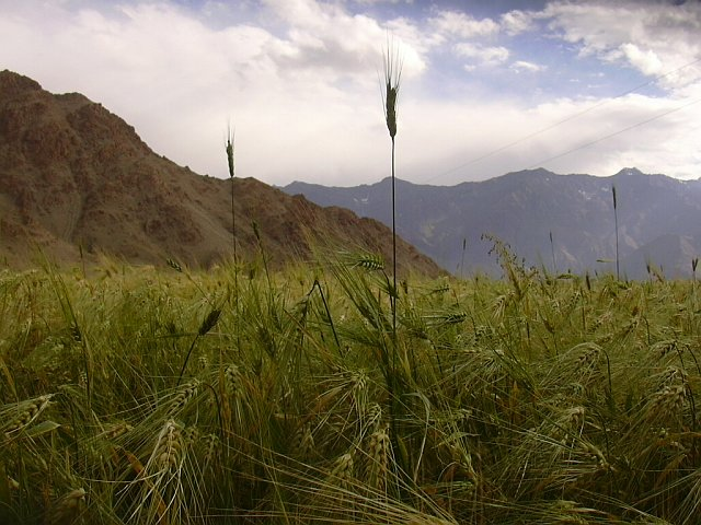 Millet fields in Laddakh